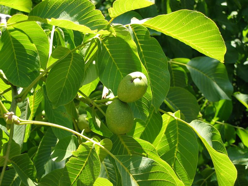 листья грецких орехов
